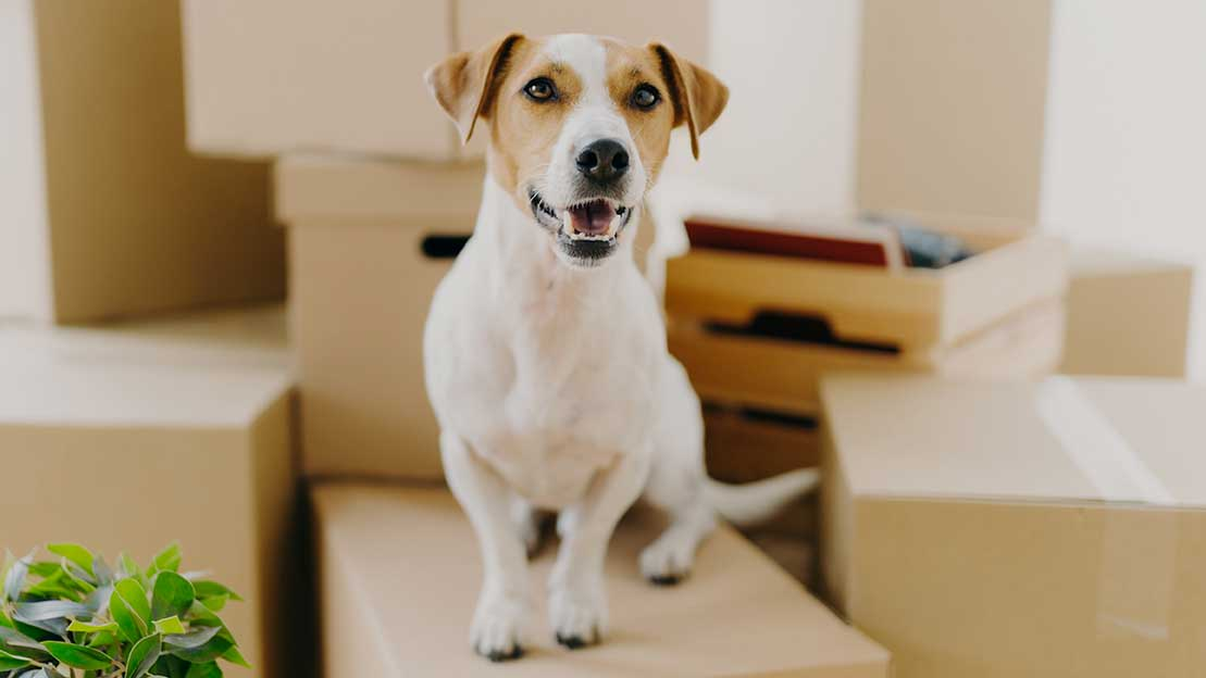 dog standing on moving boxes